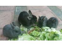 Dwarf Netherland Kits Bunnies