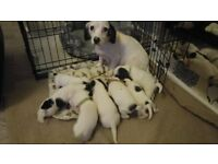 beautilful puppies for sale