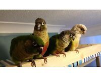 3 lost Green cheek Conures Exwick
