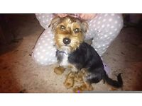 Yorkshire Terrier / Bichon cross male £110.00 ono