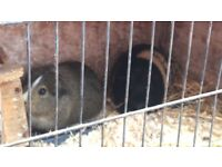 Two Guinea pigs and double hutch