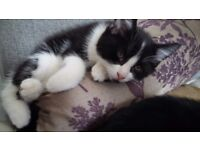 Kittens x 2, brother & sister, 16 wks, MUST go together. VERY playful. Flee'd & wormed.