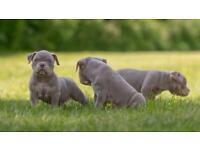 2 x littlebull pups