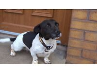 4 year old Springer / Terrier cross needs a forever home