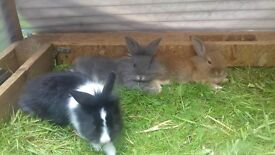 ADORABLE BABY LIONHEAD RABBITS LOOKING FOR GOOD HOMES.