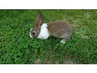 Little boy dutch rabbit
