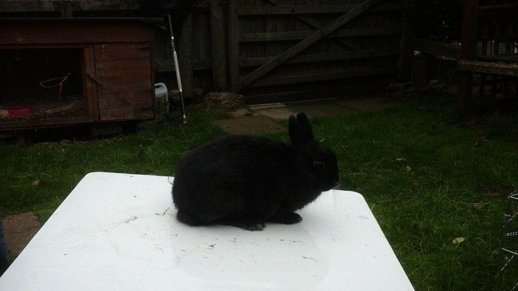 One beautiful black doe netherland dwarf rabbit