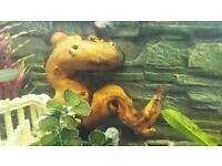 Large lizard shaped bogwood for aquarium