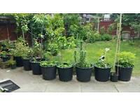 Garden plants, fruit trees, bushes for sale