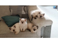 Stunning Pedigree Ragdoll kittens for sale - Price Reduced!