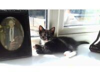 1 Male & 1 Female Black & White kittens 30 Pounds Each