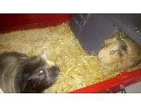 X2 guinea pigs and indoor cage