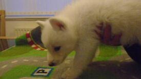 Beautiful Girl husky puppy
