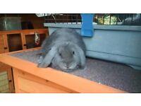 Cute grey Dwarf-lop male rabbit for sale!!