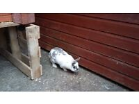 Rabbit and hutch free to good home