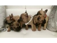 French Bulldog Puppies for Sale KC