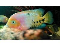 Fish synspilium vieja