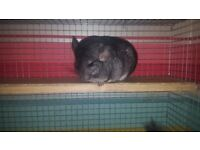 2 Male Grey Chinchillas with Cage and Accessories