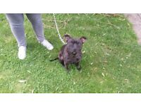 2year old male staffy for rehoming asap