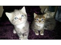 Gorgeous tabbies for sale
