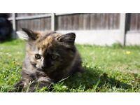 Beatifull Female kitten for sale