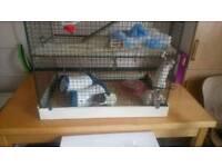 4 Female friendly rats