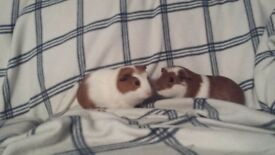 Young brother guinea pigs