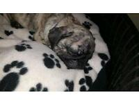 Reverse Brindle Male Pug Puppy
