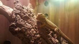 Bearded dragon and large viv