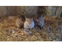 Rodent.. adult gerbils male and female
