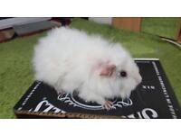 Fluffy white boy taddy guinea pig looking for new home