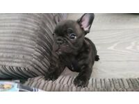 Beautiful male french bulldogs