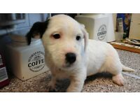 jack russell patterdale lakeland terrier puppies