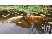 "14"" to 18"" Koi carp available"