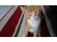 Last ginger kitten left for sale