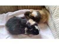 ●♡GUINEA PIGS FREE TO LOVING HOMES♡●
