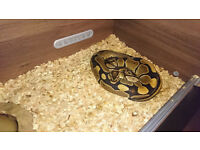 Adult male Ball/Royal python looking for home, vivarium optional
