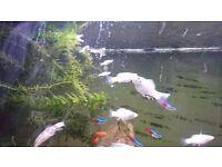 White sailfin Molly juvenile/fry