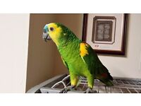 Blue/White headed Amazon parrot 4yrs old