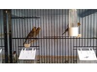 Lizard Canarys For Sale