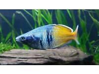 6 Boesemani Rainbow fish for sale