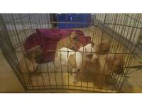 ***STAFFORDSHIRE BULL TERRIER PUPS FOR SALE***