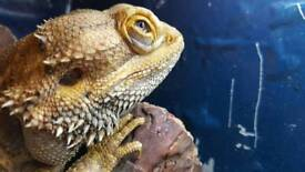 Bearded dragon plus cage for sale.