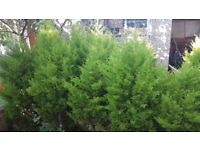 15 citrus green conifers ideal Hedge or alone. 5ft tall. 20£ech