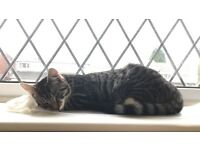 Large Kitten 8 months