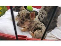 i have 4 jack Russell chawowas for sale ready to leavs the 6th of may