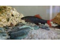 1 Ruby Shark fish £25 and Other fish is for £15