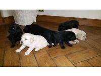 Adorable, healthy and pure labrador puppies