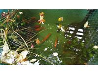 Selection of fish for sale orf shebumkins and ghost carp ideal for pond some orf 6-7 inch
