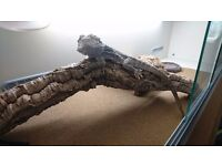 Bearded Dragon with tank and equipment free to a good home